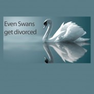 Even Swans Get Divorced